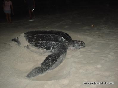 Leatherback Turtle in Testigos