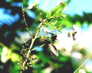 Dominica - Hummingbird