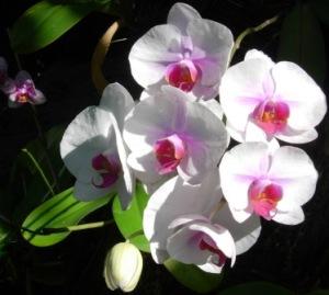 Guadeloupe - Jardin Botanique orchid 1