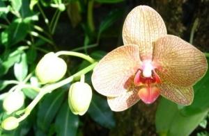 Guadeloupe - Jardin Botanique orchid 2