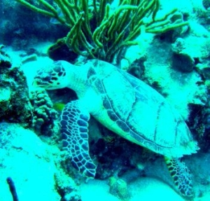 Iles des Saintes - hawksbill turtle