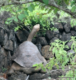 Lonesome George stretching his long neck (the pipe isnt part of' his anatomy!)
