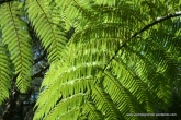 NZ fern - Great Barrier Island