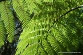 NZ fern - Great Barrier Island