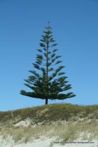 Norfolk Pine on Great Barrier