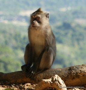 Macaque monkey - Lombok