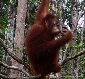 Thoughtful orangutan - Kumai