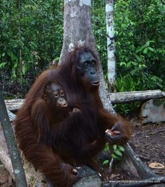 Orangutan mother and child