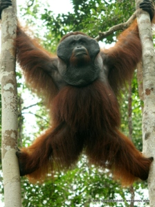 Male orangutang