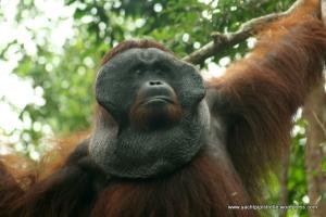 Male Orangutan - Borneo