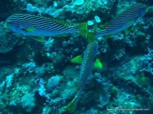 Synchronised swimming - Diagonal banded sweetlips