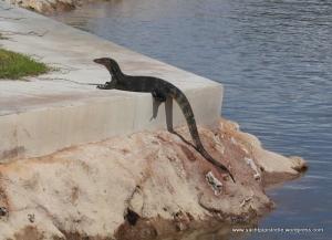 A monitor lizard greets us  at the marina entrance!