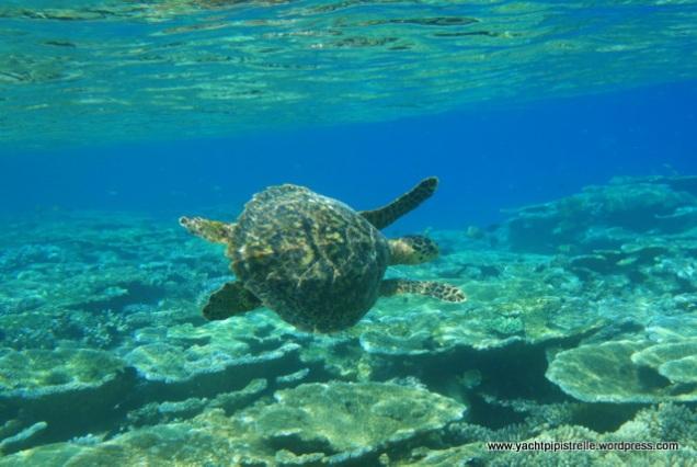 Hawksbill sea turtle (Eretmochelys imbricata) accelerating away!!