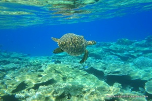 Turtle swimming on reef at Rasfushi - March 2015