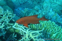Red fish (identified as a Bigeye, Priacanthus hamrur) changes colour - when threatened