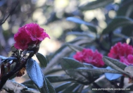 Endemic Rhododendron