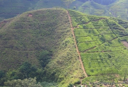 Tea plantation on half - lying fallow on other