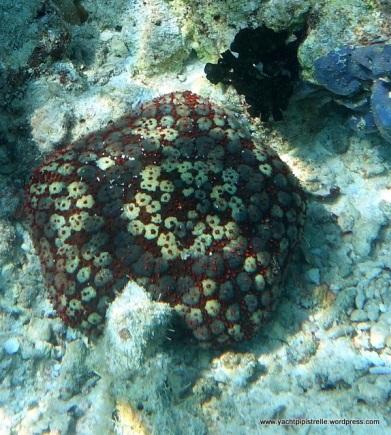 Pin or spiny cushion star fish (prob. Culcita schmideliana)