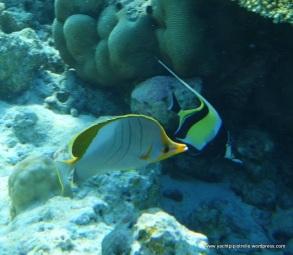 Yellowhead butterfly fish (left) Moorish Idol (right)