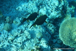 Dark-spotted boxfish pair