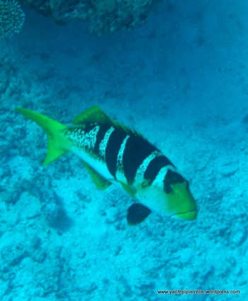 Saddleback coralgrouper (Plectropomus laevis)