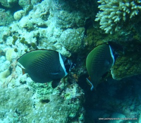 Collared butterflyfish (Chaetodon collare)