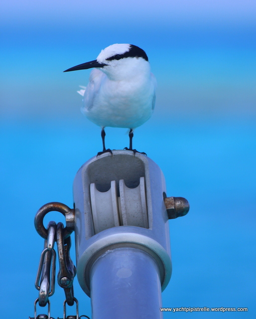 A feathered friend keeps watch - black-naped tern (Sterna sumatrana)
