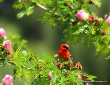 Red cardinal fody