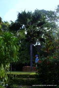 Coco de mer palm planted by Prince Philip in 1956