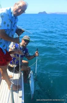 8 kg mackerel No. 2 gaffed ...