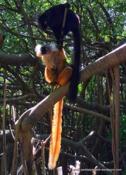 Common black lemur with whiskered golden variety