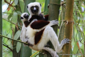 Cute Lemurs in Madagascar - Sept 2015