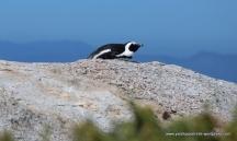 Nesting on a rock ...