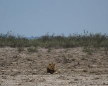 Distant lion