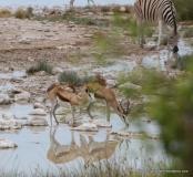 At the waterhole - springbok