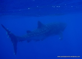 Whalesharks beckon
