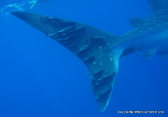 whaleshark tail with feeder fish