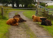 Highland cattle guarding gate